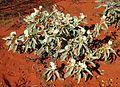 Solanum quadriloculatum white flowered form.jpg