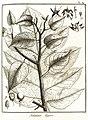 Solanum tegore Aublet 1775 pl 84.jpg