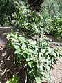 Solanum vespertilio kz3.JPG