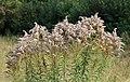 Solidago canadensis ripe 2018 G1.jpg