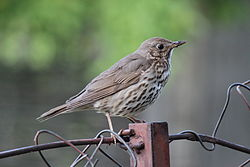 Song Thrush FVV.JPG