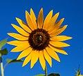 Sonnenblume IMG 3119.jpg