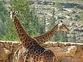 South African Giraffes 04.jpg
