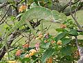 South Asian Chamaeleon (Chamaeleo zeylanicus) W IMG 1852.jpg
