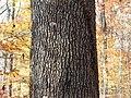 Southern Red Oak (31028924641).jpg
