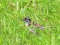 Sparrow (8745975149).jpg