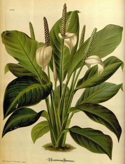 Spathiphyllum floribundum LIH.png