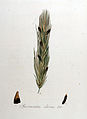 Spermoedia clavus — Flora Batava — Volume v8.jpg