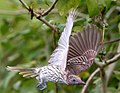 Sphecotheres vieilloti -Cairns, Queensland, Australia -female-8 (1).jpg