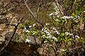 Spiraea prunifolia var. simpliciflora 2014.4.5 (13679405444).jpg