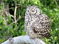 Spotted Eagle-Owl (44750741581).jpg