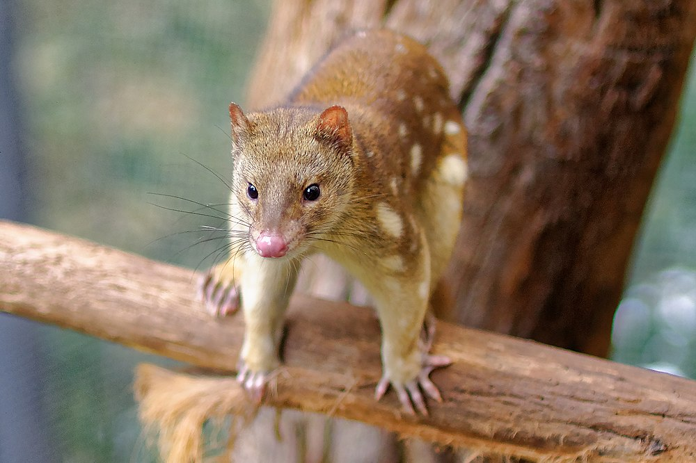 The average litter size of a Tiger quoll is 5