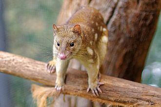 Tiger quoll - Image: Spotted Tail Quoll 2011