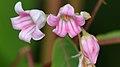 Spreading Dogbane (Apocynum androsaemifolium) - Kitchener, Ontario.jpg