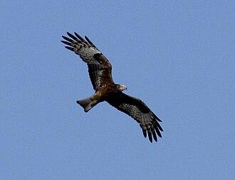 Square-tailed kite - Image: Sqki kobble sep 08