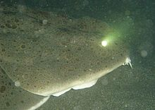 pacific angel shark teeth  The Pacific angelshar...