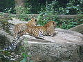 Sri lankaanse panter - Burgers Zoo.JPG