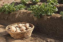 Pommes de terre 'Amflora'