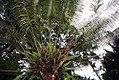 Stangeria eriopus 8zz.jpg