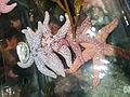Starfish on display at CAS - 2.jpeg