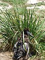 Starr-080531-4769-Eragrostis variabilis-habit with Laysan albatross chick-Ave Maria Sand Island-Midway Atoll (24543103209).jpg