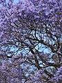 Starr-090514-7780-Jacaranda mimosifolia-flowers-Kula-Maui (24659665030).jpg