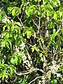 Starr-090610-0443-Syzygium malaccense-white flowers-Haiku-Maui (24845552262).jpg