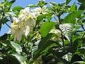 Starr-090714-2713-Mussaenda sp-white flowers and leaves-Napili-Maui (24674115960).jpg