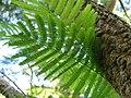 Starr-091104-0842-Anadenanthera colubrina-leaves-Kahanu Gardens NTBG Kaeleku Hana-Maui (24360836983).jpg