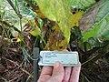 Starr-091104-8937-Piper postelsianum-plant tag-Kahanu Gardens NTBG Kaeleku Hana-Maui (24962040686).jpg