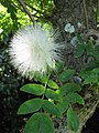 Starr-091104-9189-Calliandra haematocephala-white flower and leaves-Kahanu Gardens NTBG Kaeleku Hana-Maui (24962461426).jpg