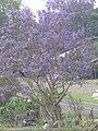 Starr-100504-5891-Jacaranda mimosifolia-flowering habit-Kula-Maui (24944161791).jpg