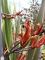 Starr-100616-7087-Phormium tenax-flowers-Waipoli Rd Kula-Maui (24413670203).jpg