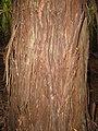Starr-101219-5527-Sequoia sempervirens-bark-Waihou Springs-Maui (24964619441).jpg