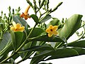 Starr-110330-3662-Fagraea berteroana-flowers and leaves-Garden of Eden Keanae-Maui (24453729123).jpg