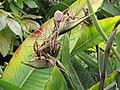 Starr-110331-4640-Strelitzia reginae-fruit forming-Shibuya Farm Kula-Maui (24963874382).jpg