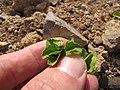 Starr-110929-9605-Acanthospermum australe-flowers and leaves-Hanaula-Maui (24998715852).jpg