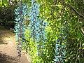 Starr-120301-3223-Strongylodon macrobotrys-flowers-Enchanting Floral Gardens of Kula-Maui (25043639251).jpg