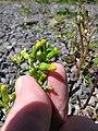 Starr-120329-3979-Senecio vulgaris-flowers-Near Stone building HNP-Maui (25019904642).jpg