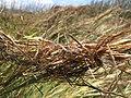 Starr-120702-7924-Heteropogon contortus-tangle of seeds-USDA Plant Materials Center-Molokai (24555614804).jpg