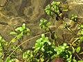 Starr-130319-2937-Bacopa monnieri-habit in stream-Rock Quarry Beach Mokolea Pt Kilauea Pt NWR-Kauai (25208403405).jpg