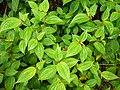 Starr-170516-0209-Clidemia hirta-habit-Lower Kula Pipeline Haiku Uka-Maui (34841757780).jpg