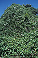Starr 000501-1297 Thunbergia laurifolia.jpg