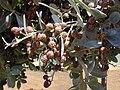 Starr 010330-0600 Conocarpus erectus.jpg