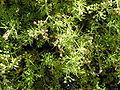 Starr 010520-0107 Ciclospermum leptophyllum.jpg