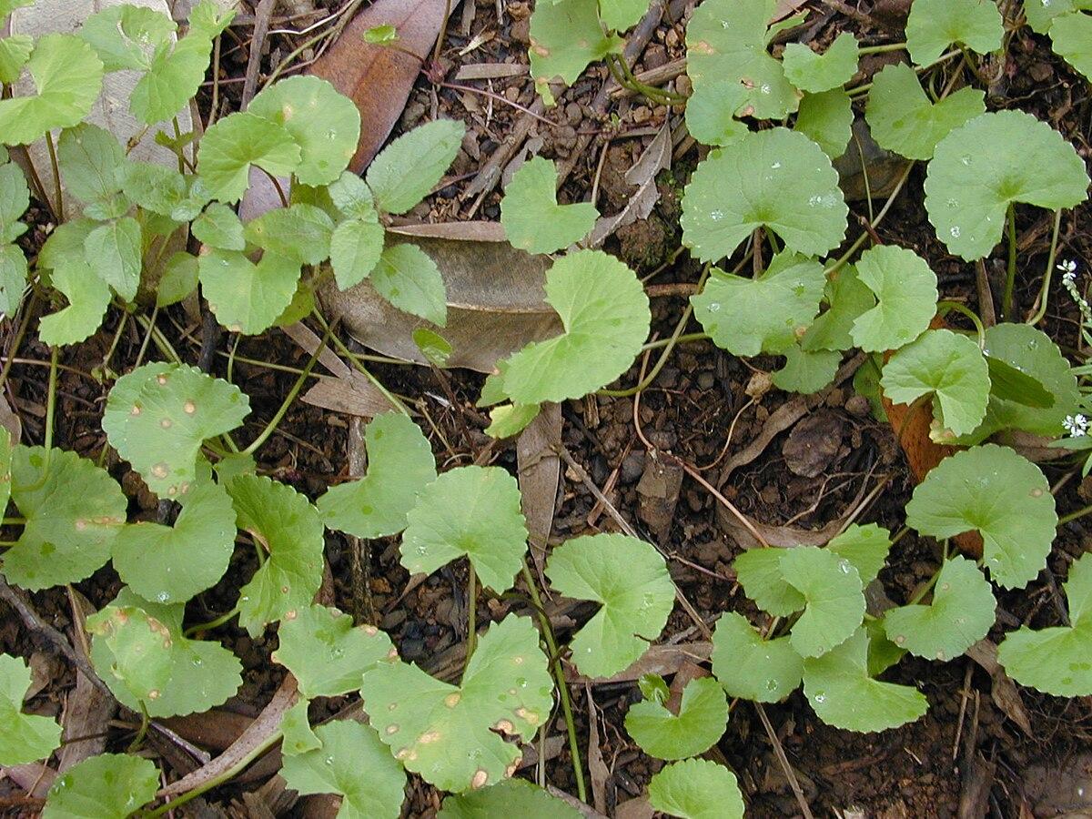 Centella Asiatica Wikipedia La Enciclopedia Libre