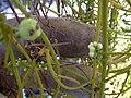 Starr 030716-0147 Cassytha filiformis.jpg
