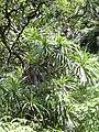 Starr 040713-0078 Freycinetia arborea.jpg