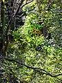 Starr 041219-1591 Cinchona pubescens.jpg