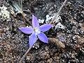 Starr 050817-3868 Wahlenbergia gracilis.jpg